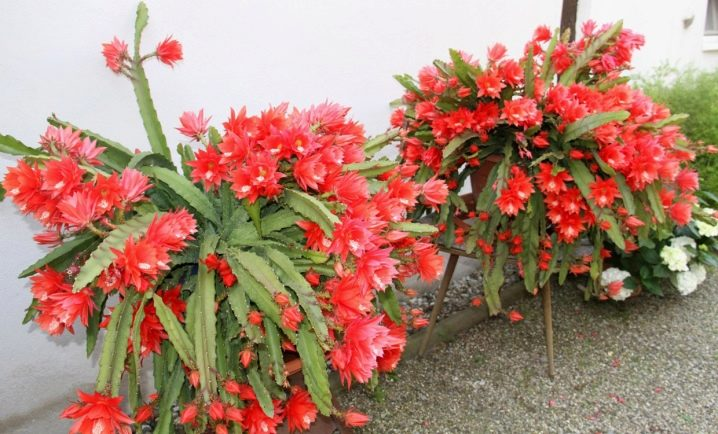 Epiphyllum Orchid Cactus : The Advanced Care Guide 5