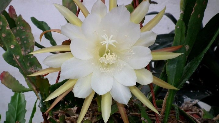 Epiphyllum Orchid Cactus : The Advanced Care Guide 11