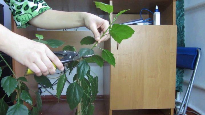 Гибискус болотный посадка и уход в открытом грунте каталог агро