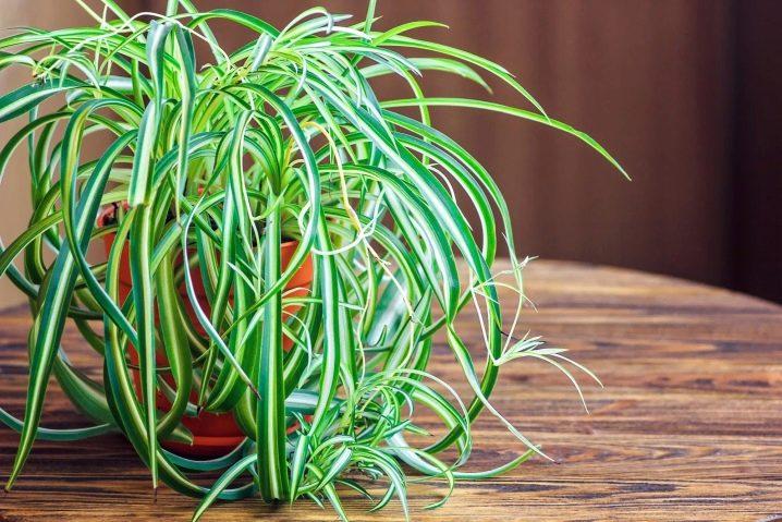 Размножение хлорофитума как размножать хлорофитум детками и розетками в домашних условиях Как его рассадить Последующий уход за рассадой