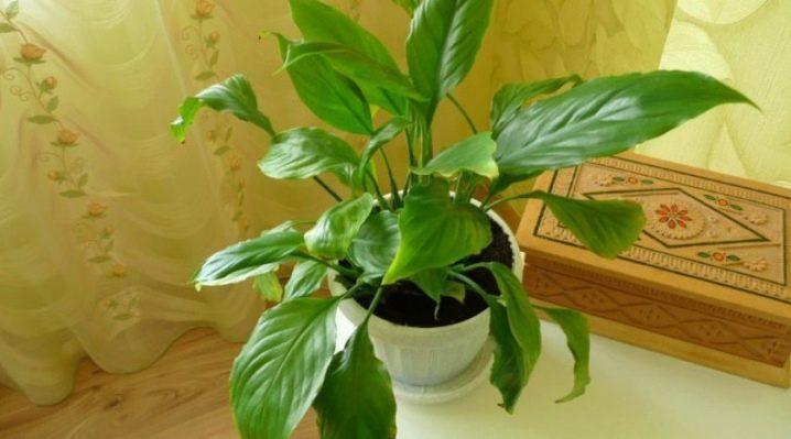 Спатифиллум плохо растет и не цветет