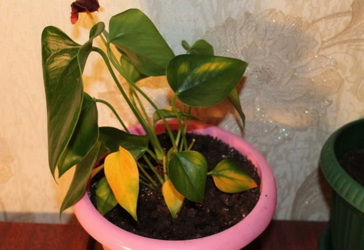 Антуриум сохнут листья — О цветах