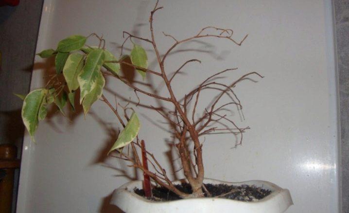 Почему желтеют листья у фикуса бенджамина весной. Почему у фикуса бенджамина желтеют листья и что делать, если они опадают