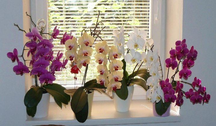 Сколько дней цветет орхидея
