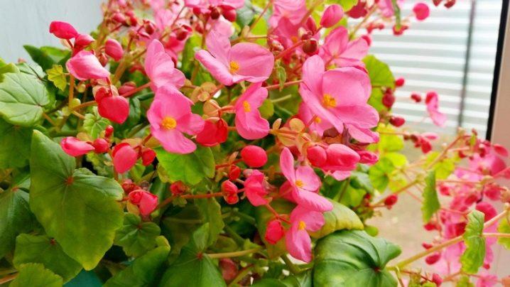 посев бегонии вечноцветущей семенами на рассаду сроки