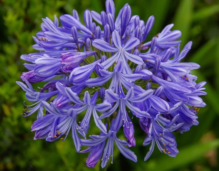 Lily of the Nile (Agapanthus Plant): Brilliant Grow & Care Tips 1