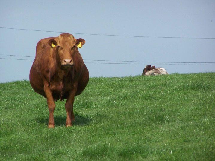 Беременная корова картинка