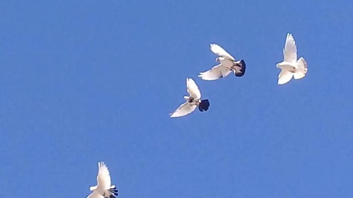 Голуби молоканы
