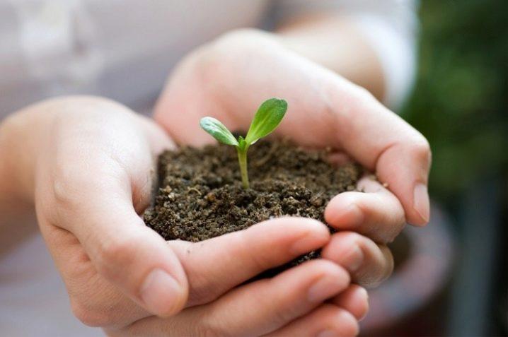 Цикламен- описание, условия выращивание, уход