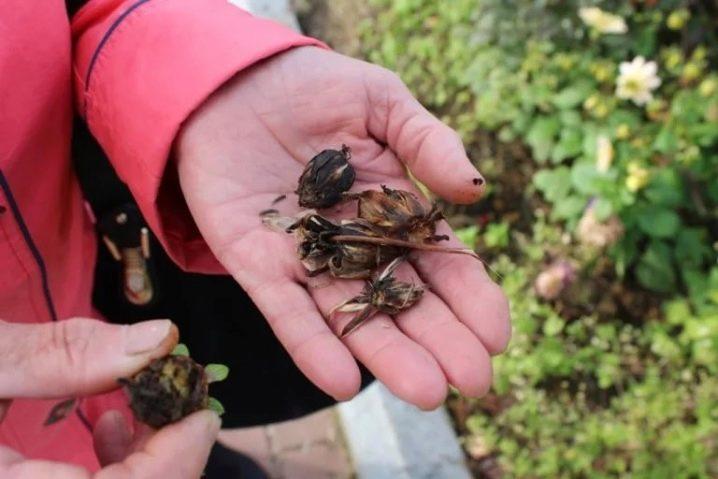 Георгина веселые ребята посадка и уход в открытом грунте