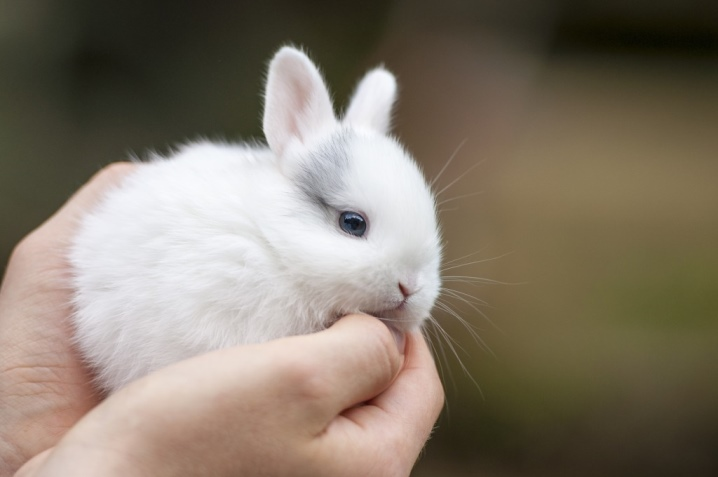 Как подстричь когти кролику? Как правильно их подстригать кролику в домашних условиях? Как часто нужно стричь? Инструкция по стрижке когтей