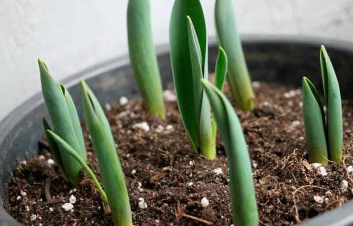 Можно ли вырастить тюльпаны в квартире
