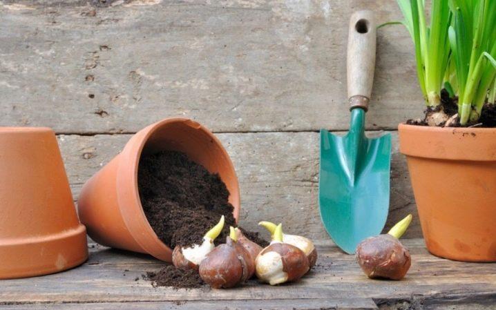 Можно ли в домашних условиях выращивать тюльпаны?