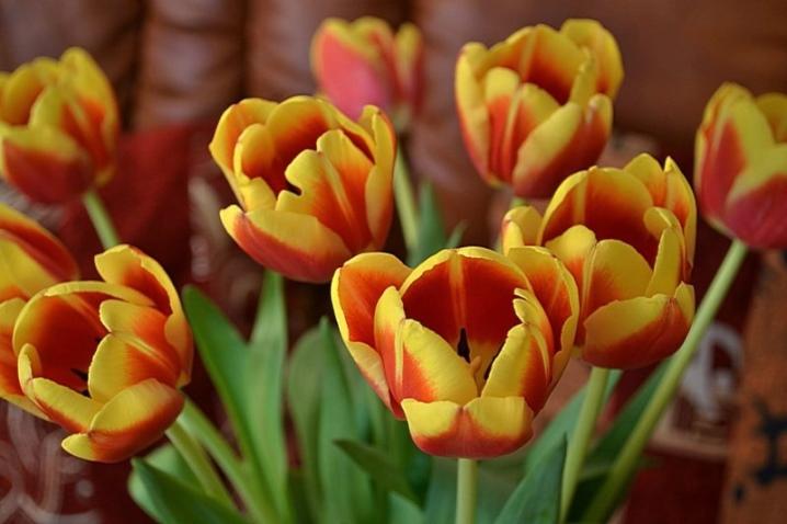 Сорта тюльпанов: лучшие и новые с описанием и характеристиками с фото