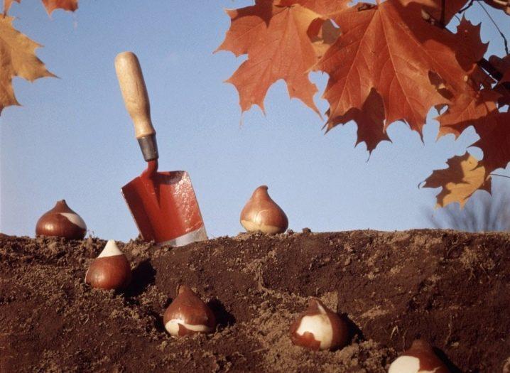 Тюльпаны посадка и уход в открытом грунте - лучшие советы