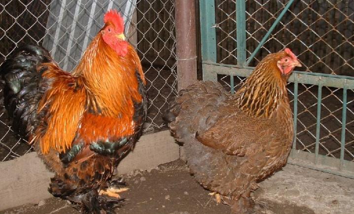 Яйца кохинхин фото