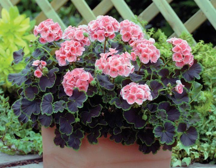Пеларгония rosebud supreme — Цветы365