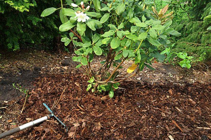 Как посадить рододендрон весной фото