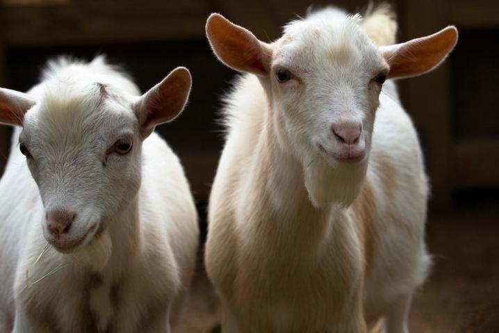 Как можно назвать козу — критерии выбора клички, как назвать козлёнка мальчика и девочку, список лучших имён по алфавиту