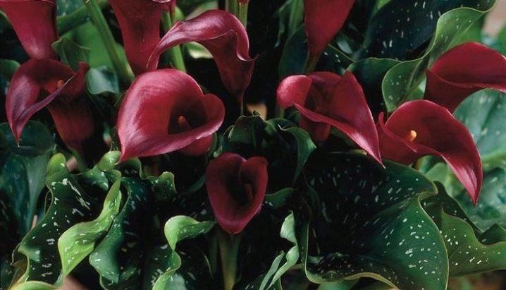 Цветы похожие на каллы название фото