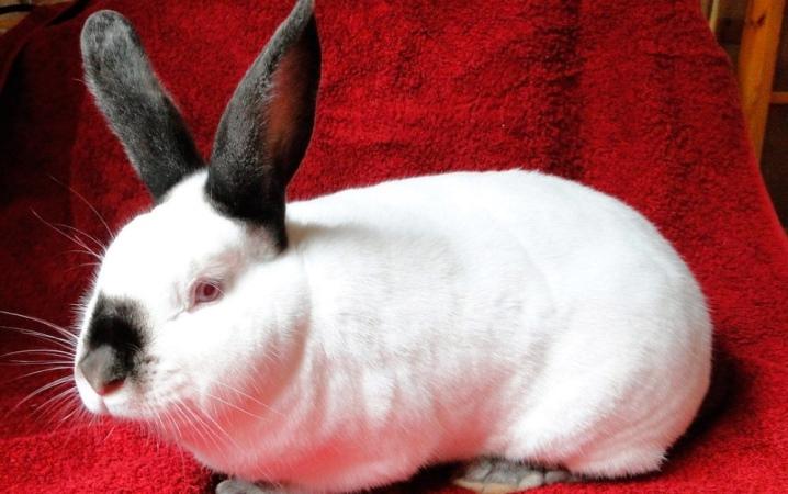 калифорнийская порода кроликов описание с фото только