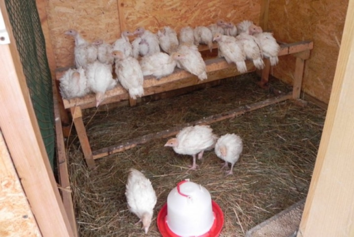 Белые ставропольские индюки: описание породы