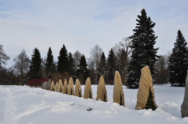 Туя: посадка и уход в открытом грунте, подготовка к зиме