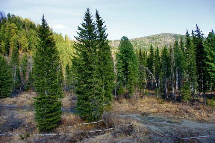 Чем отличается елка от ели фото