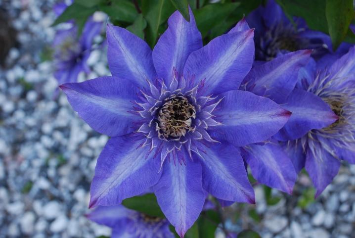 Как обрезать клематис для пышного цветения, или три группы обрезки клематиса