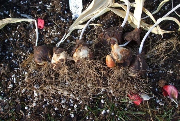 Ирис сетчатый mixed посадка и уход в открытом грунте