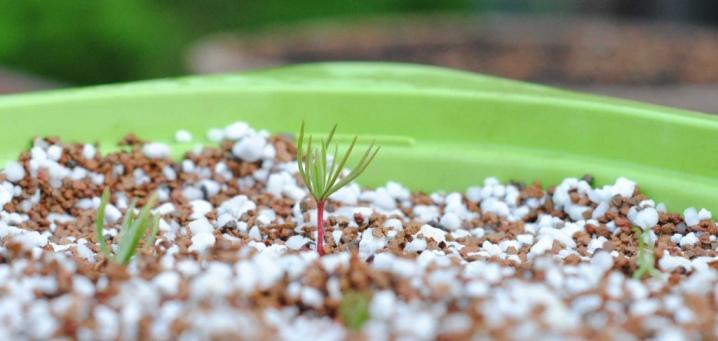 Как выращивать сосны в домашних условиях?