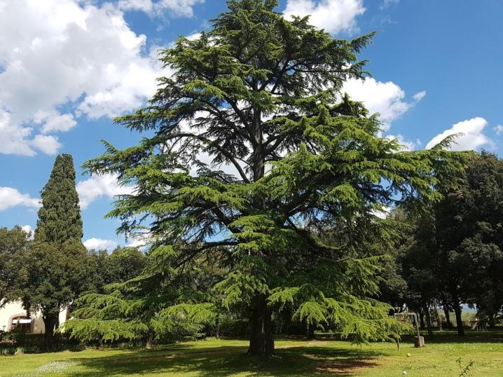 Виды и сорта хвойного растения кедр