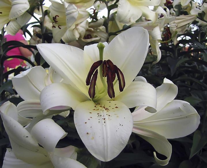 Лилия цветок - уход и выращивание: виды и сорта лилии домашней на фото