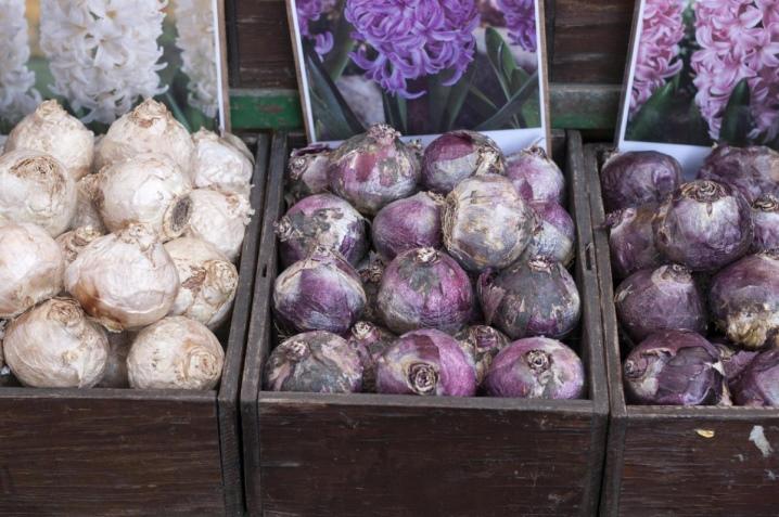 Посадка гиацинтов: когда сажать луковицы в грунт весной? На какую глубину? Как высадить гиацинты дома в горшки?