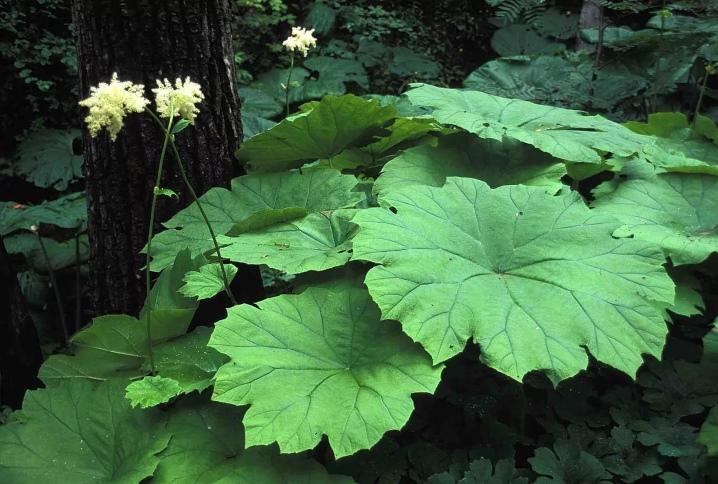 раз астильбоидес фото выращивание главное