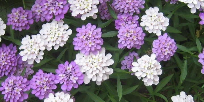 иберис зонтичный лилициана выращивание из семян