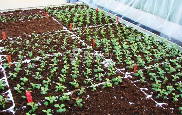 Хризантема корейская 67 фото описание сортов многолетних зимостойких хризантем посадка и уход выращивание из смеси семян