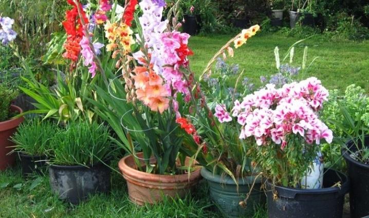 gladiolusy-v-gorshkah-sorta-posadka-i-uhod.jpg