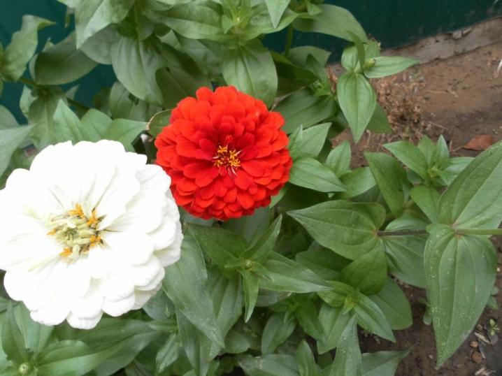 как правильно собрать семена цинии