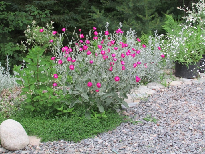 Rose campion - Lychnis coronaria: The In-Depth Planting & Care Guide 19