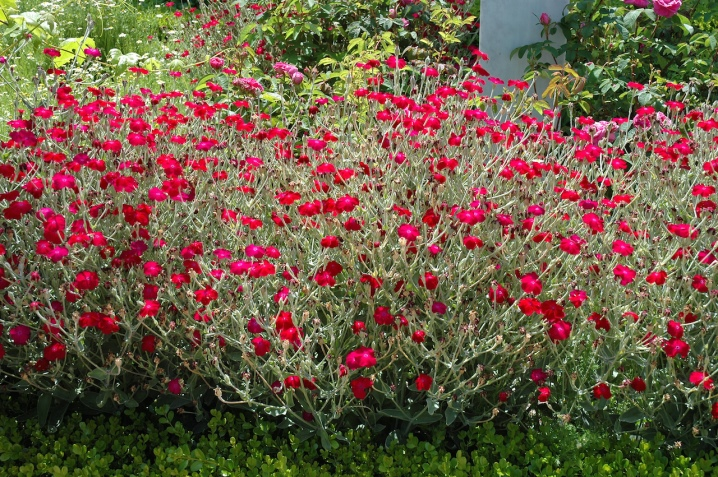 Rose campion - Lychnis coronaria: The In-Depth Planting & Care Guide 20