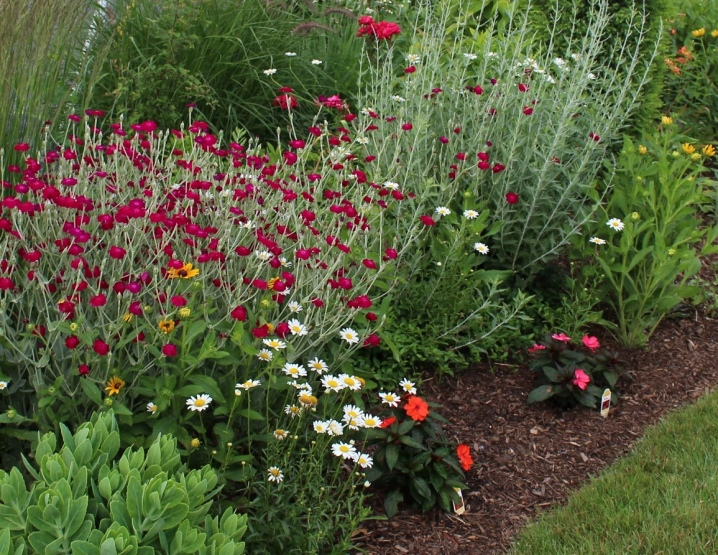 Rose campion - Lychnis coronaria: The In-Depth Planting & Care Guide 18