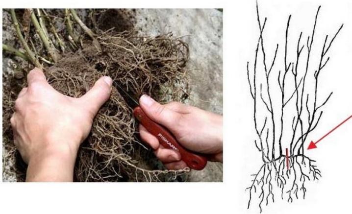 Пампасная трава посадка семенами