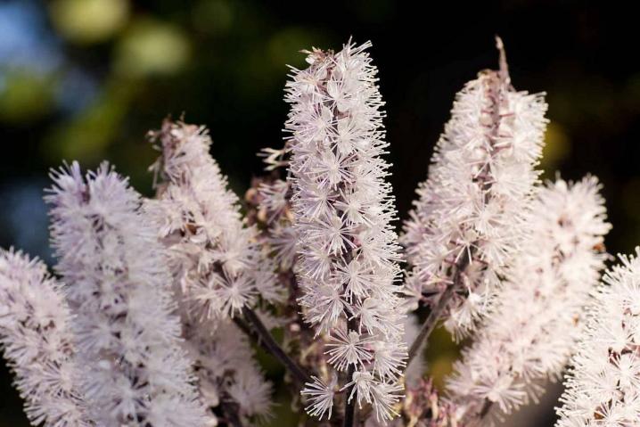 Фиолетовые многолетние цветы фото и названия