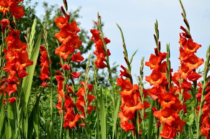 pochemu-gladiolusy-stanovyatsya-odnogo-cveta-1.jpg