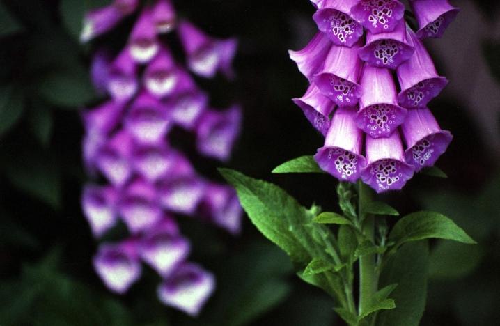 Наперстянка пурпурная: описание, посадка и уход