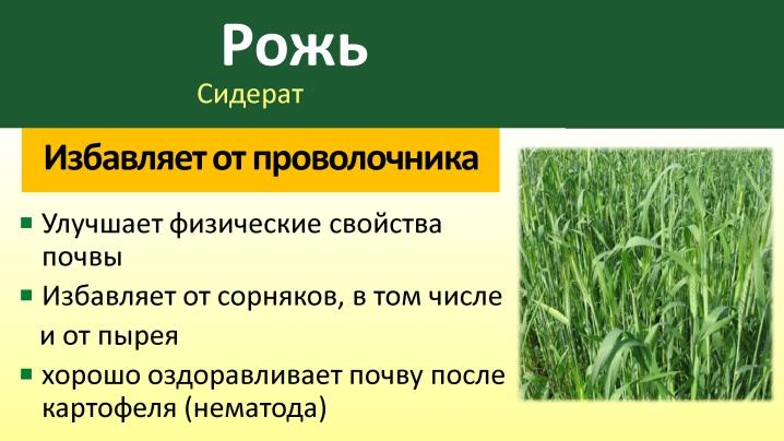 rozh-kak-siderat-ot-posadki-do-uborki-1.jpg