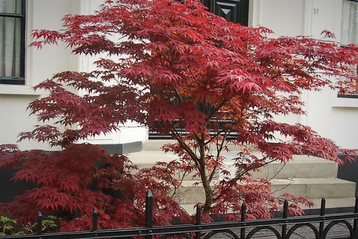 Laceleaf Japanese Maple: Full Care & Propagation Guide 9