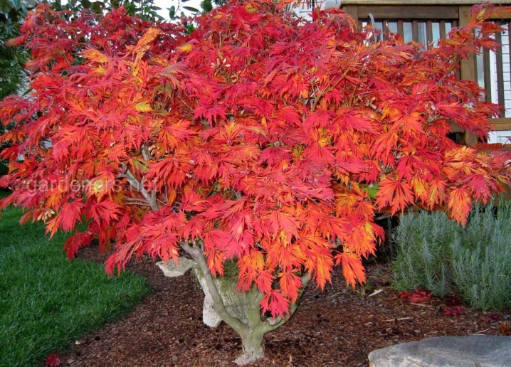 Laceleaf Japanese Maple: Full Care & Propagation Guide 10