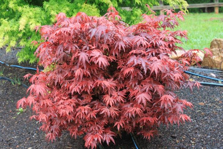 Laceleaf Japanese Maple: Full Care & Propagation Guide 12
